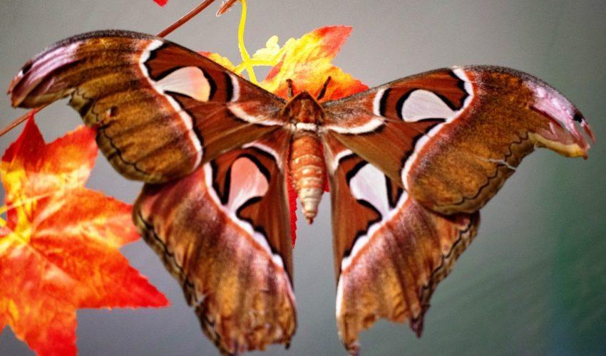 Это одна из самых больших бабочек в мире!
