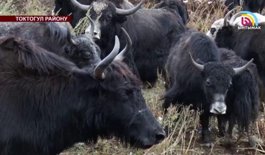 Яки из Токтогульского района Жалал-Абадской области КР. А ведь могут освоить и другие регионы!